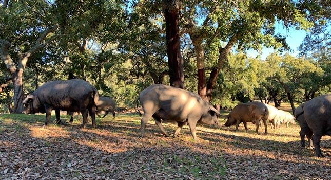 La montanera del cerdo ibérico
